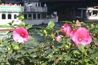JRA_Chicago Riverwalk State to LaSalle_Tour Boat and Hibiscus